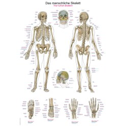Anatomische leerborden Het menselijke skelet