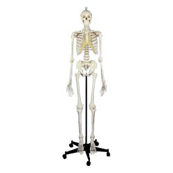 Menselijk skelet