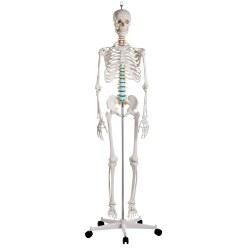 Erler Zimmer Squelette scolaire « Oscar »